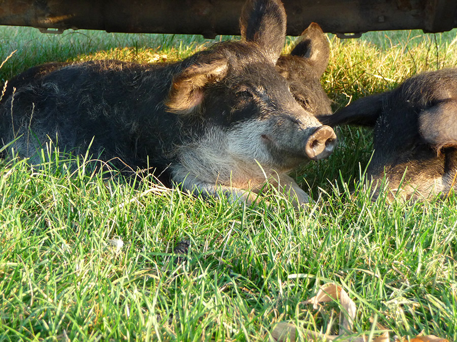 Mangalitza Schweine im Nationalpark Neusiedler See - Seewinkel